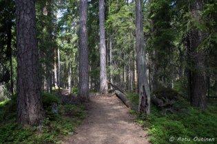 Aarniometsä on täynnä niin isoja puita, ettei niitä voi edes halata.